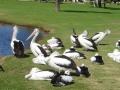 サウスパース(公園)のペリカン
