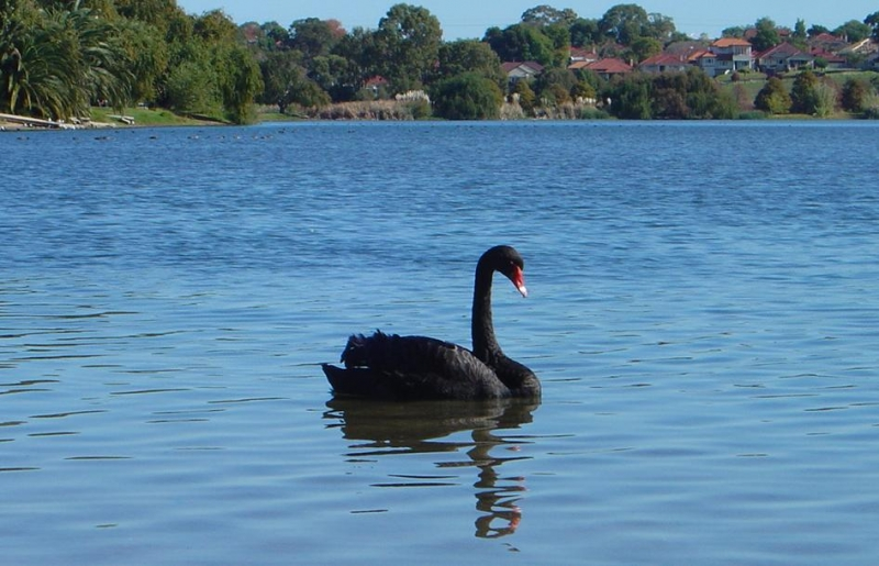 レイクモンガー(公園)の黒鳥