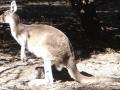 カンガルー(パース動物園)