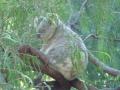 コアラ(パース動物園)